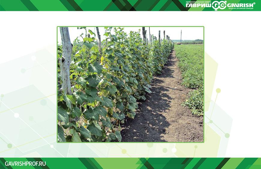 Выращивание огурца в открытом грунте на шпалерах — отличный способ получать хороший урожай и прибыль в течение летнего сезона