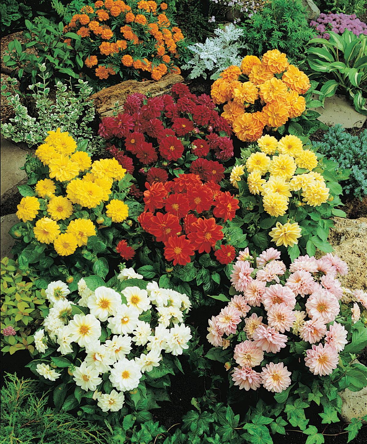 Однолетники цветы фото и описание