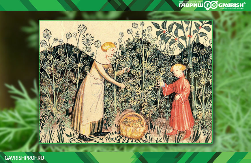 Укроп на средневековых гравюрах