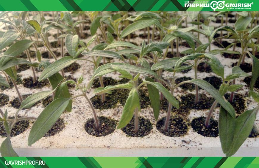 Оптимальная модель выращивания рассады томата
