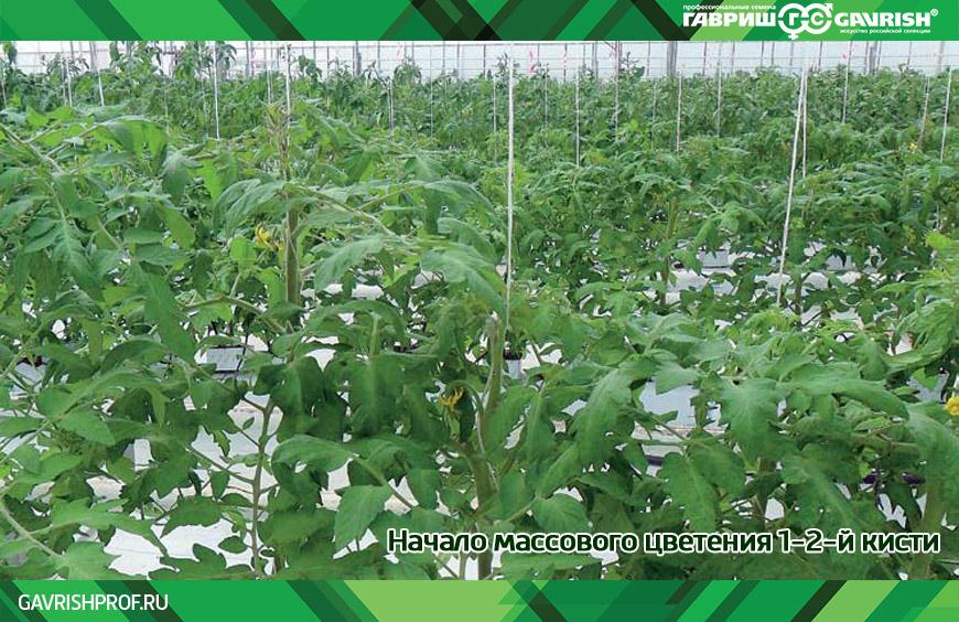 Начало массового цветения 1-2-й кисти