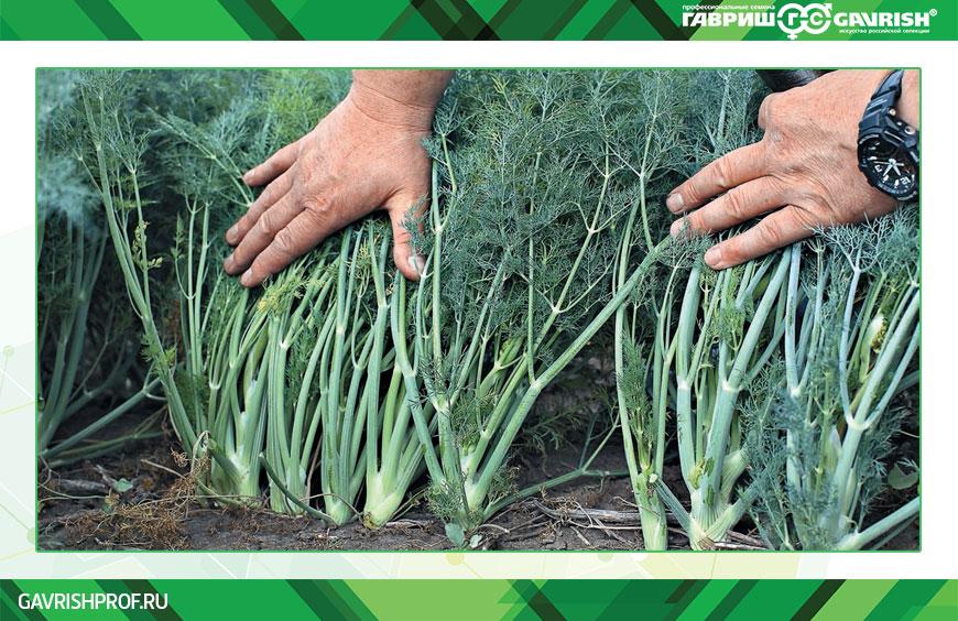 Семена укропа Гавриш для большого урожая