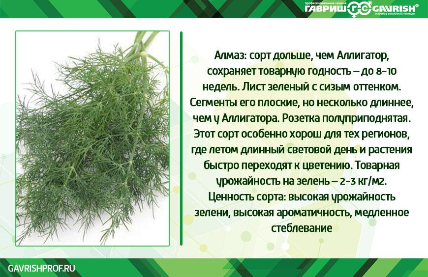 Укроп Алмаз Фото и параметры