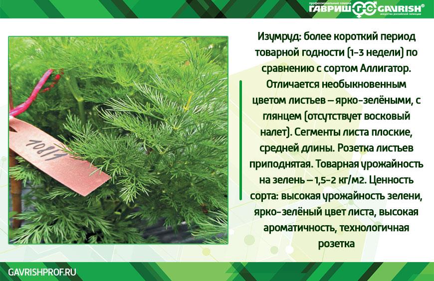 Укроп Изумруд. Фото и параметры