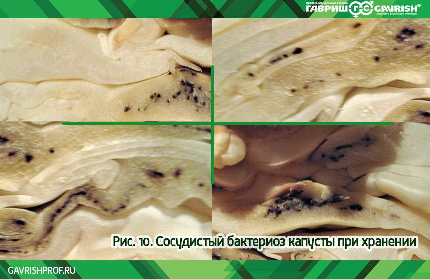 Сосудистый бактериоз капусты при хранении