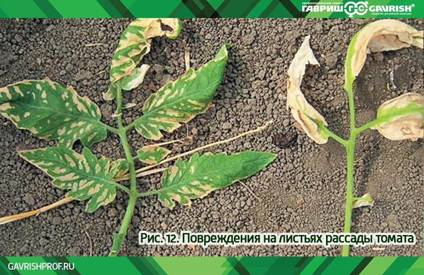 Повреждения на листьях рассады томатов