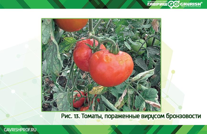 Вирус бронзовости на томатах