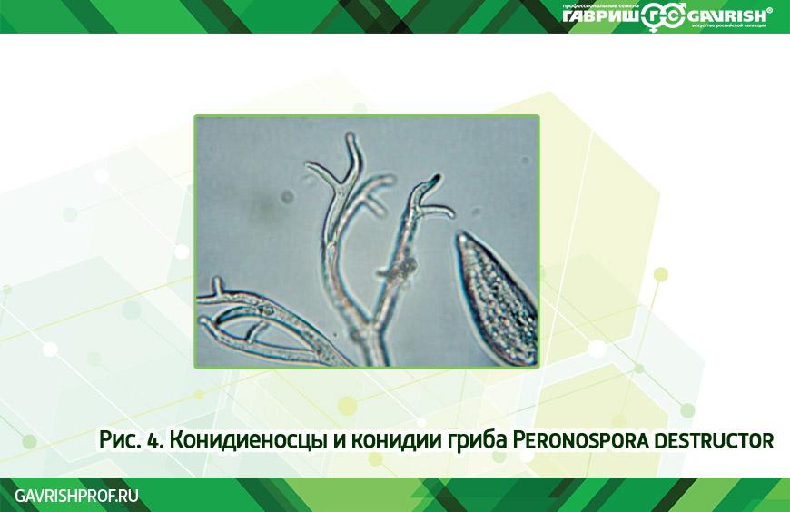 Конидиеносцы и конидии Peronospora