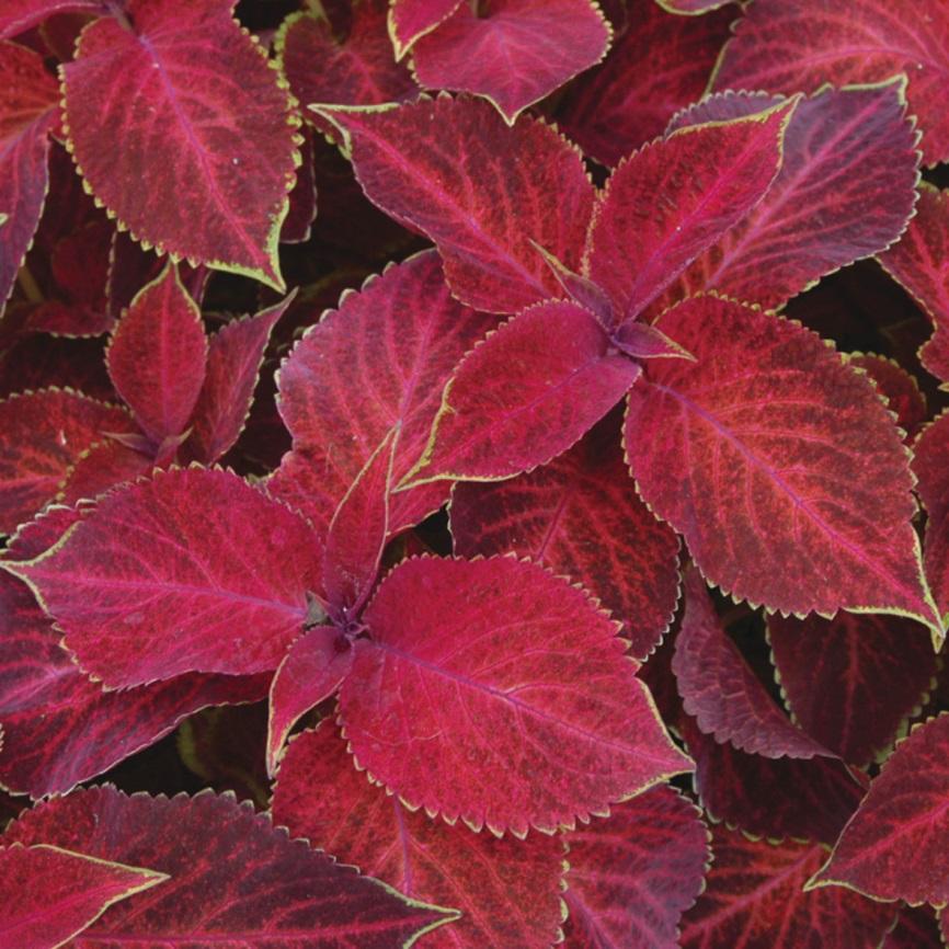 ивановна бордовые растения фото с названиями в саду любые