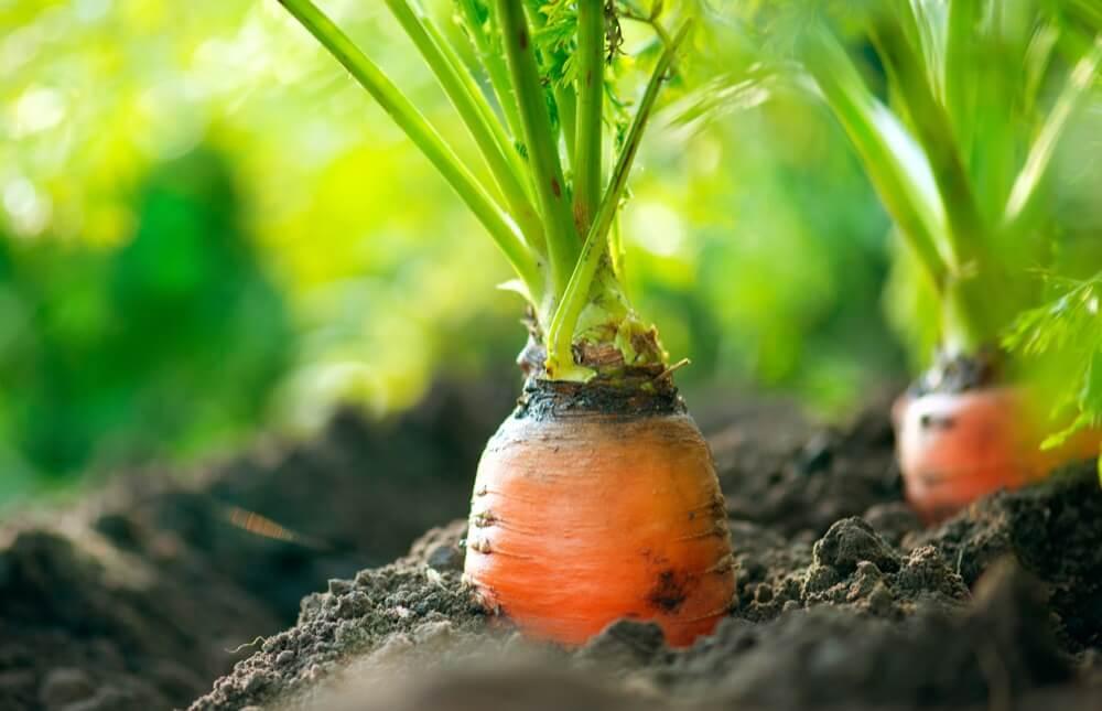 Переработка моркови