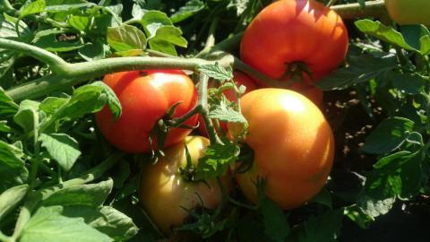 Фото томат Величавый Гавриш Профессиональные семена