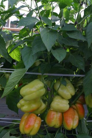 Профессиональные семена сладкого перца «F1 Самсон» от Гавриш