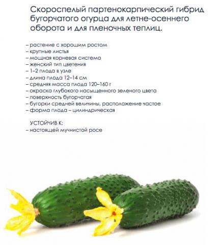 F1 Тезис – огурец от Гариш Профессиональные семена. Характеристики и описание