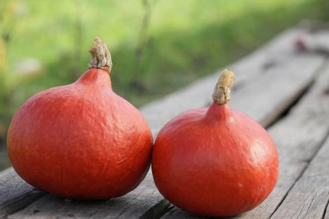 Плоды тыквы кёрлинг
