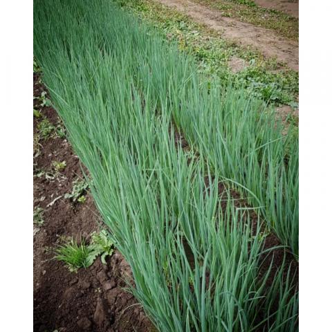 Профессиональные семена Лука «Капитал» на зелень (лук батун - Allium fitulosum L.) от «Гавриш»