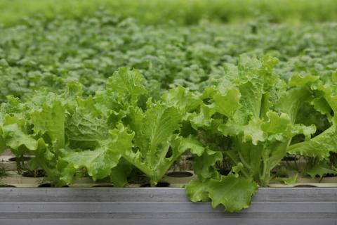 Профессиональные семена салата «НЕФРИТ»