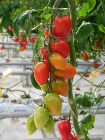 Лучшие тепличные сорта томатов: посадка и уход