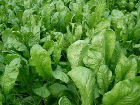 Зеленные Кресс-салат Дукат