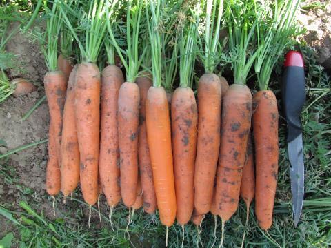 Морковь F1 Кентавр