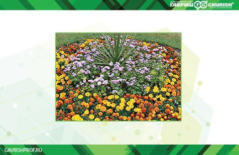 Агератум широко используется в ландшафтном дизайне и ценится за красивый окрас