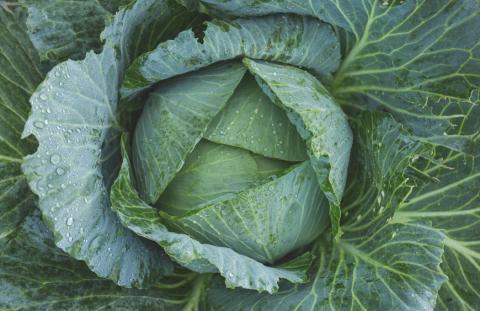 Внекорневые подкормки и защита взрослых растений капусты - условие получения хорошего урожая