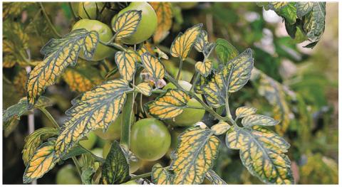 Фузариозный токсикоз томата