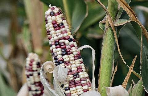 Кукуруза — второй хлеб