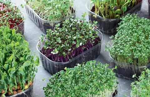 Технология выращивания микрозелени