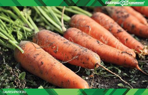Оптимальный выбор семян моркови