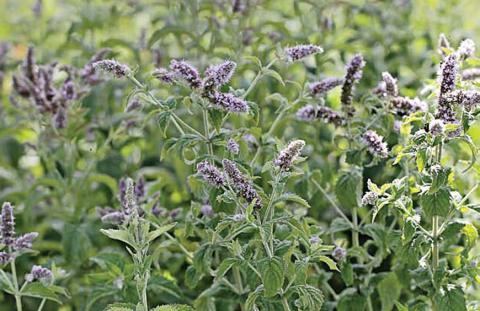 Мята - популярное растение с выраженными лекарственными и ароматическими свойствами