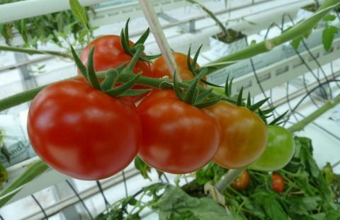 Особенности питания растений в плёночных теплицах