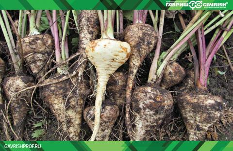 Пастернак – источник различных микроэлементов и полезных биологически активных веществ, а его выращивание - весьма выгодно