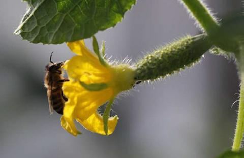 Как правильно выращивать пчелоопыляемые огурцы в открытом грунте