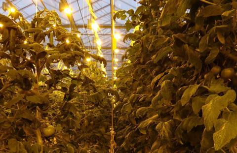 Селекционерами компании «Гавриш» успешно реализована селекционная программа по созданию гибридов томата, толерантных к мучнистой росе