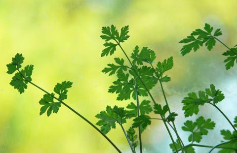Петрушка — универсальная зеленая пряность и важный компонент многих блюд