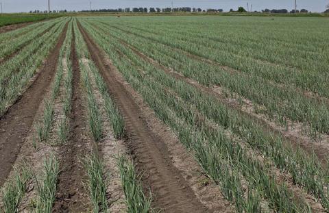 Получаем качественный урожай лука