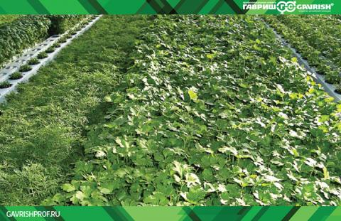 Биофунгициды для защищенного грунта