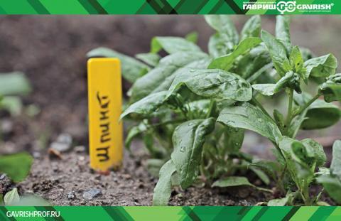 Как правильно сеять, ухаживать и защищать урожай полезного овоща — шпината