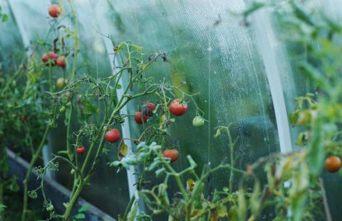 Контроль западного цветочного трипса на томате