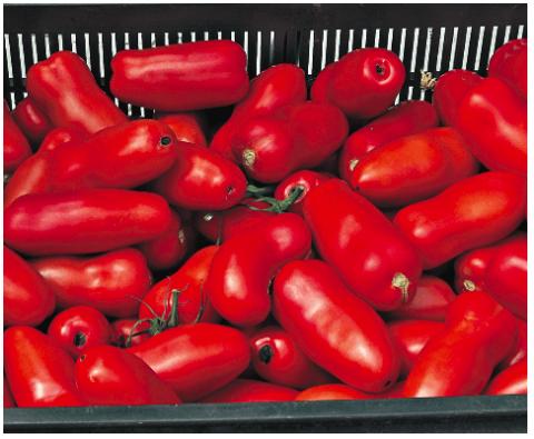 Устойчивый к вершинной гнили сливовидный томат