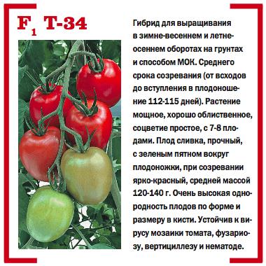 Устойчивый к вершинной гнили томат Т34