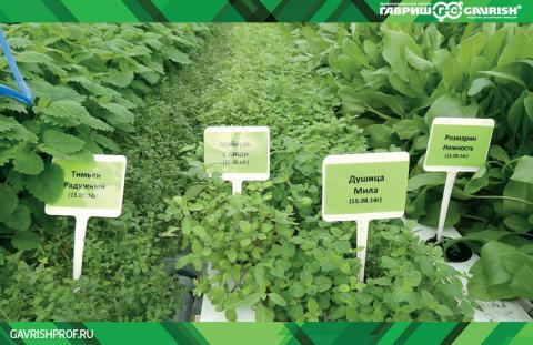 особенности технологии внесезонного выращивания зеленных