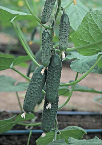 Гавриш Профессиональные семена зеленцы огурца