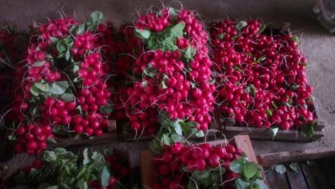 Редис f1 Рембо самый ранний урожай