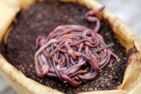 Калифорнийские черви в компосте