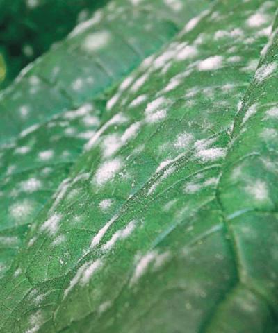 Огурец в теплице, поражённый мучнистой росой