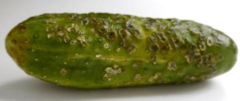 Оливковая пятнистость огурца Возбудители: кладоспориум (Cladosporium cucumerinum) и альтернария (Alternaria alternate)