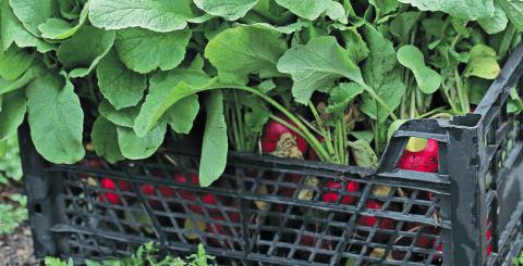 Редис. Технология получения хорошего урожая