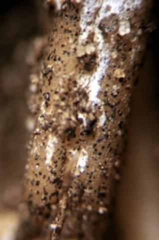 Симптомы антракноза корня огурца