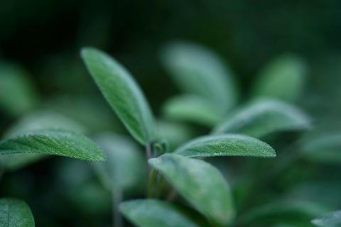 Шалфей - полезное растение для красоты и здоровья